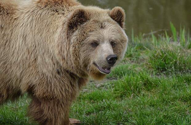 На Камчатке медведь растерзал рыбака