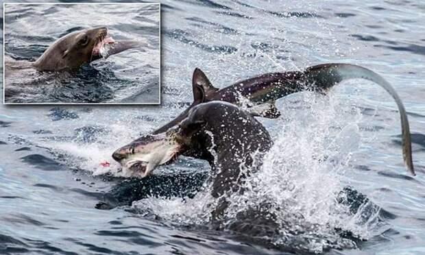 Хищница превратилась вдобычу! Голодный морской лев пообедал акулой