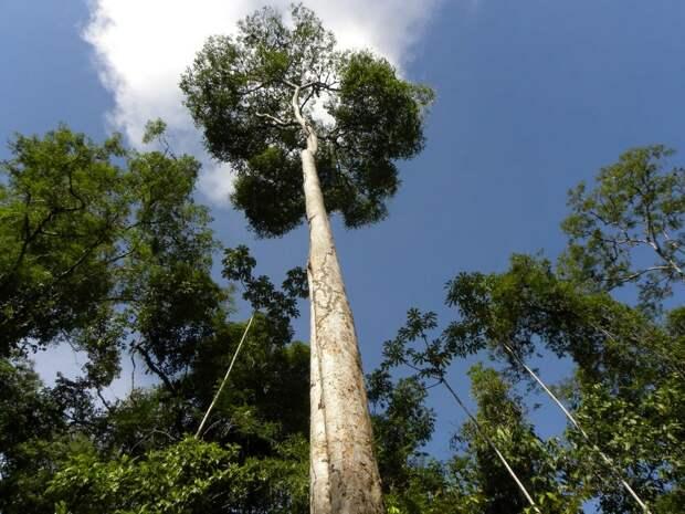 Очень красивое и экзотическое дерево