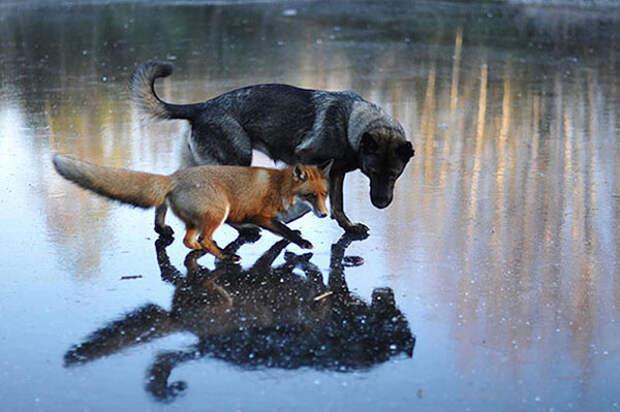 лиса и пес