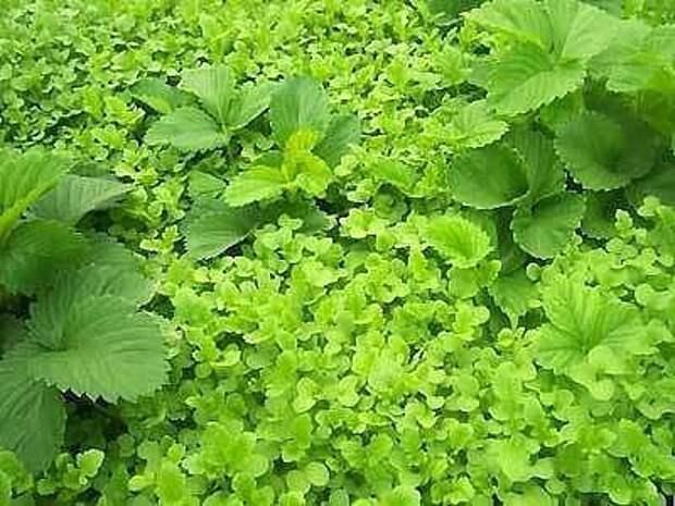 Посев горчицы для удобрения почвы.