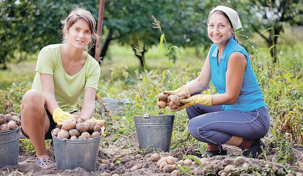 Когда можно копать картошку  в августе