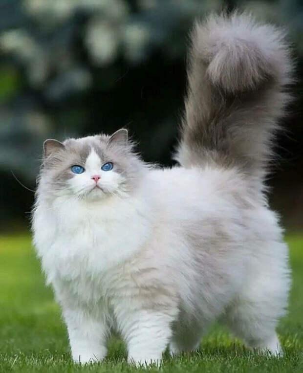 Котики максимальной степени пушистости