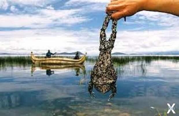Свистун из озера Титикака