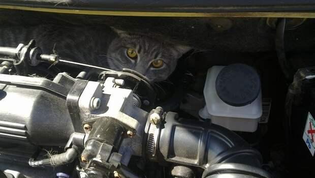 Кошки не только там любят прятаться авто, автомобиль, живность под капотом, неожиданная встреча, неожиданно, неожиданность, под капотом