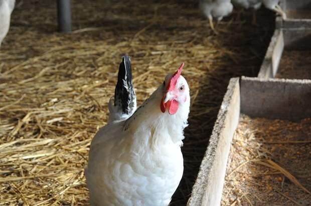 Кубань в восемь раз увеличила экспорт мяса птицы