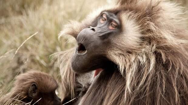 Павиан. Главной их угрозой являются львы, гепарды, крокодилы и гиены. Для того чтобы выжить, павианы объединяются в большие группы, в которые может входить до 40 представителей. Тело павианов покрыто густой шерстью.