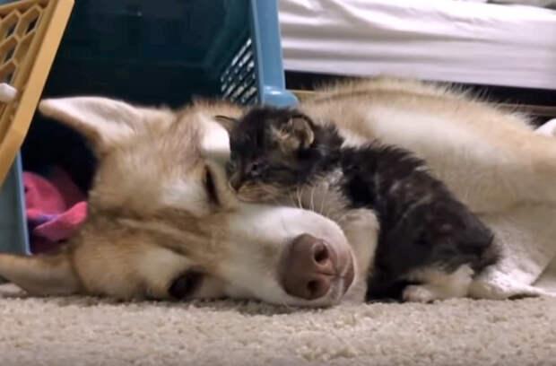 Котенок Гав, который считает себя собакой: невероятно трогательное видео!