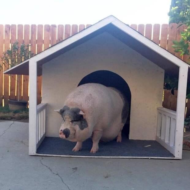 У Похлебки даже есть своя конура! Похлебка, домашний питомец, животные, милота, свинья, собаки