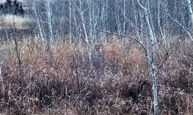 Кто же на кого охотился? видео, животные, канада, прикол, пума, скунс, храбрость, юмор