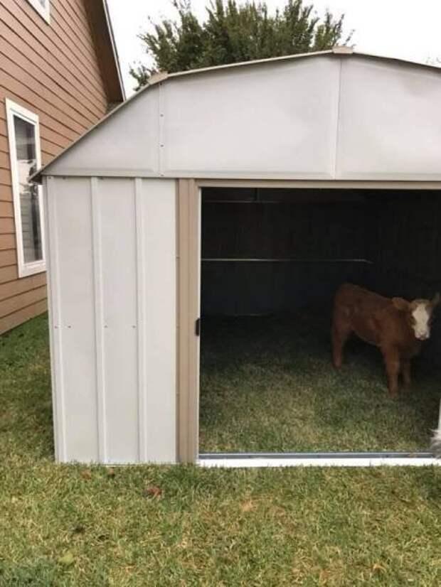 Корова, спасённая и воспитанная среди собак, думает, что она одна из них история коровы, корова, собака, теленок