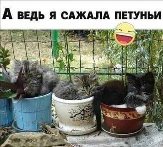 Возможно, это изображение (кот и текст «A ведь я сажала петуньи»)