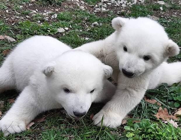 Жителям Кубани предложили придумать имена для белых медвежат