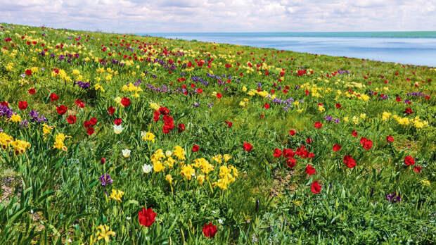 Втечение двух дней ростовчане смогут насладиться цветением степных тюльпанов
