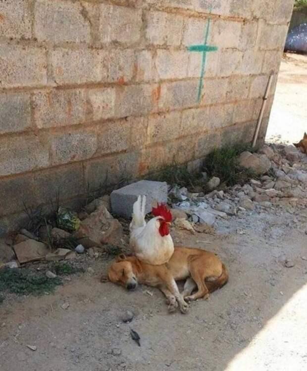 Курица сидит на собаке