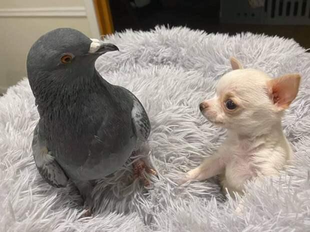 Необычная история дружбы голубя Германа, который не летает и Ланди, щеночка, который не может ходить