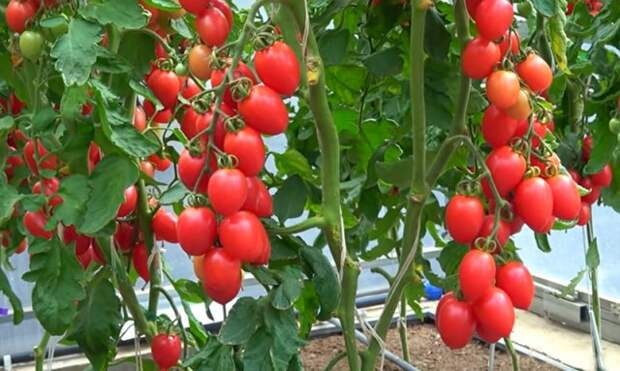 лучшие сорта томатов для вяления и сушки