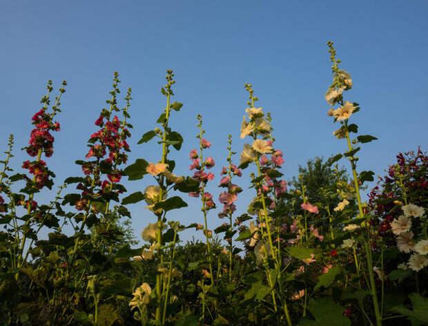 Шток-роза (Alcea rosea). Фото: F. D. Richards via Foter.com