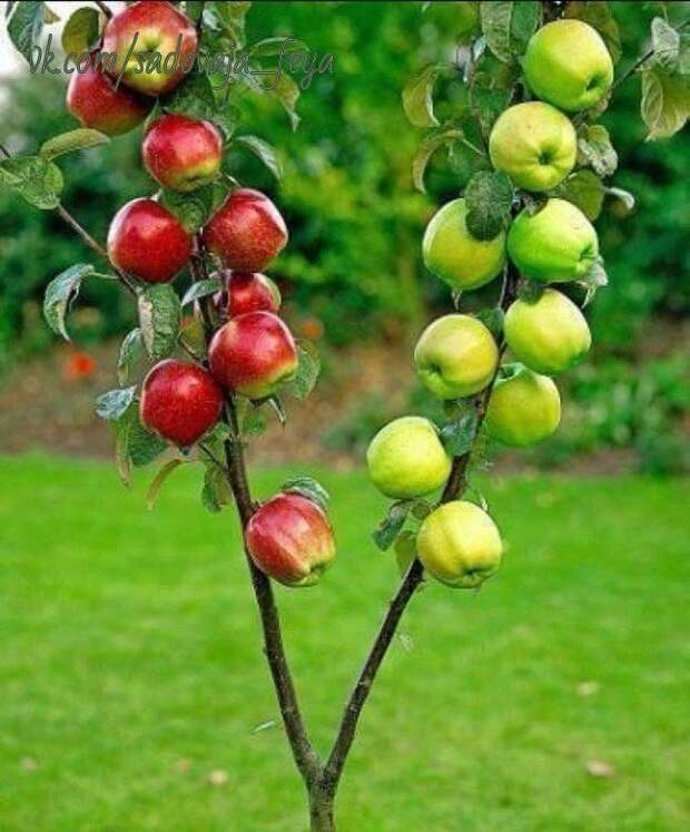 Как правильно привить на одну яблоню несколько сортов