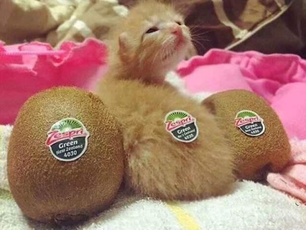 Кошачий киви интересно, не еда, несъедобное, поразительно, странные сближенья, съедобное, удивительно, удивительное рядом