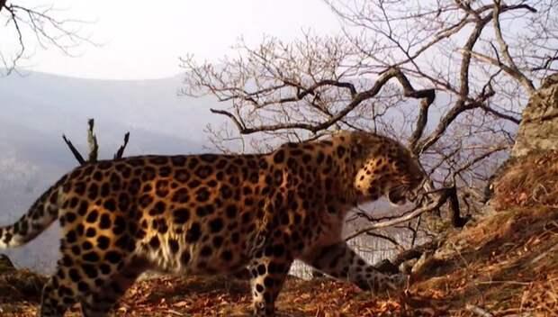 """Все Приморье станет """"Землей леопарда"""": пятнистым кошкам откроют новые территории"""