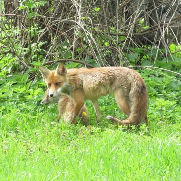 Пандемия вынудила диких лис гулять по парку Кузьминки