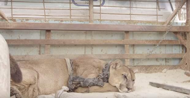 Не секрет, что за красивыми выступлениями животных в цирках часто скрывается темная сторона.. видео, дикая природа, животные, лев, освобождение, природа, фото, хищник