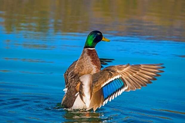 У водоплавающих птиц в парке «Тушинский» начался брачный период