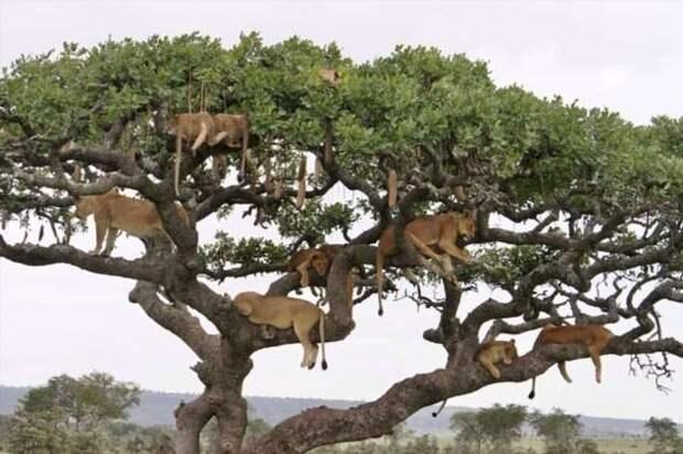 Десять львиц решили подремать на ветвистом дереве (4 фото)