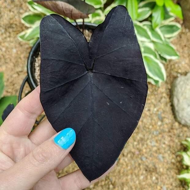 Алоказия со смольно-чёрными листьями и съедобными корнями
