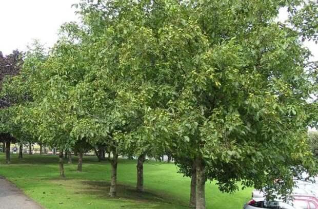 Половина экспортируемого Молдовой ореха собирается с деревьев вдоль дорог