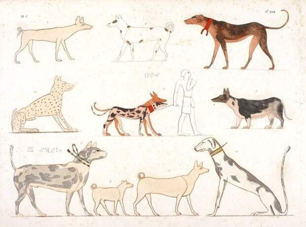 Различные породы древнеегипетских собак на рельефах и росписях из древнеегипетских гробниц. Таблица из альбома Росселлини.