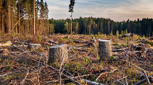 Штрафом не отделаются. За незаконную вырубку леса предложили изымать технику
