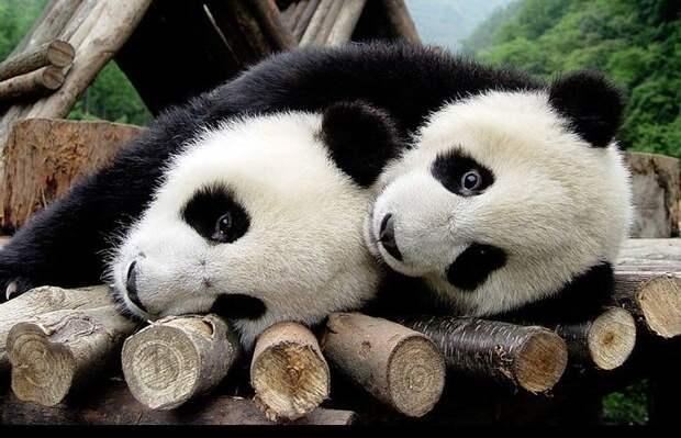"""Дерзкие """"кунг-фу"""" панды (видео)"""