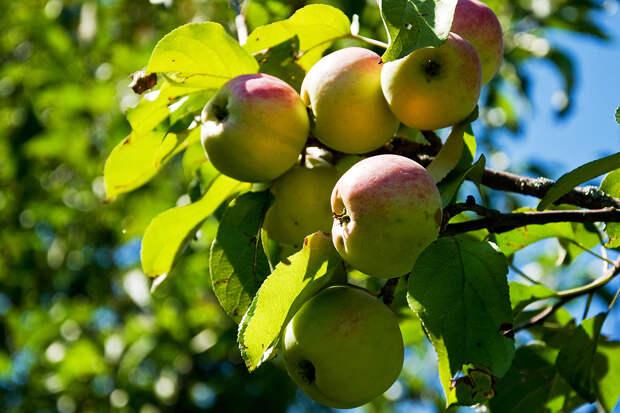 Польские фермеры мечтают отправить яблоки в Россию