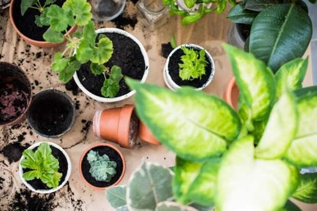 САД, ЦВЕТНИК И ОГОРОД.  Весенний уход за комнатными растениями