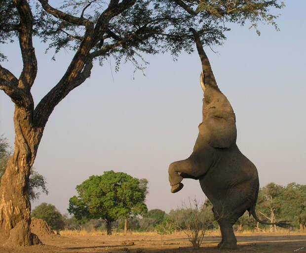 Эти животные самые крупные на земле. Их рост может достигать 4 метров, а вес до 6 тонн. Встретить африканского слона можно там, где есть растительность и вода (Центральная и Западная Африка). Кожа грубая, без шерсти, серого цвета (малыши рождаются с небольшой шерсткой).