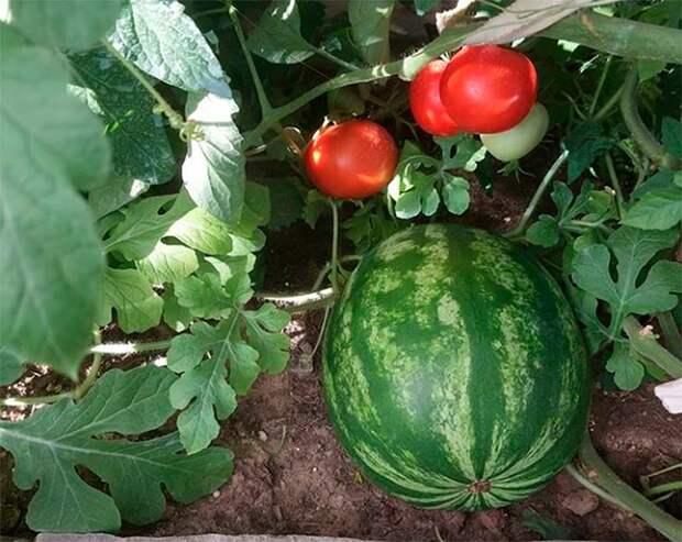 Вот такой урожай у Николая Валуева этим летом.