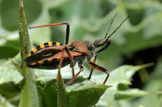 Хищнецы (лат. Reduviidae) (англ. Assassin Bugs)