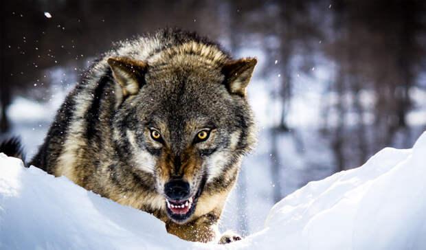 Как выжить, если на вас напала стая волков