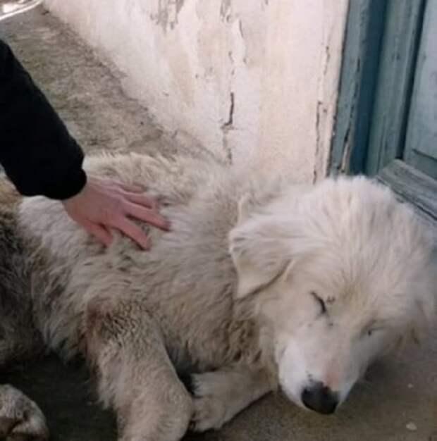 Раненая белая собака сделала несколько шагов и обессиленно упала перед дверью чужого дома