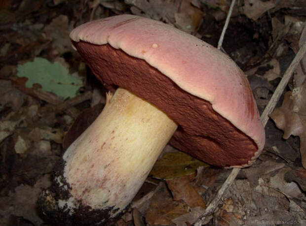 Boletus lupinus, боровик волчий, он же Boletus splendidus, ложный сатанинский гриб