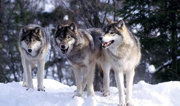 Стая волков помогала женщине в родах