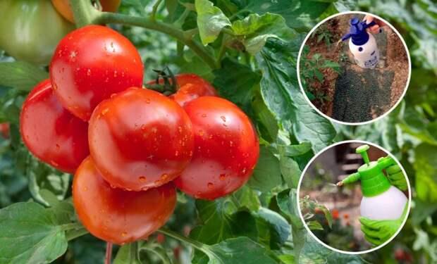 Чем нужно опрыскивать томаты в середине лета, чтобы сберечь и повысить урожай