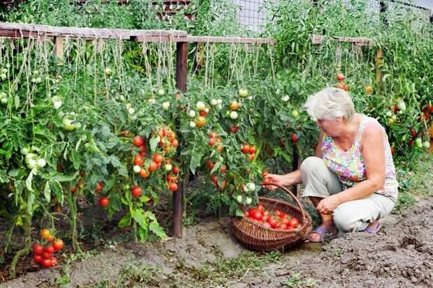 полив растений борной кислотой
