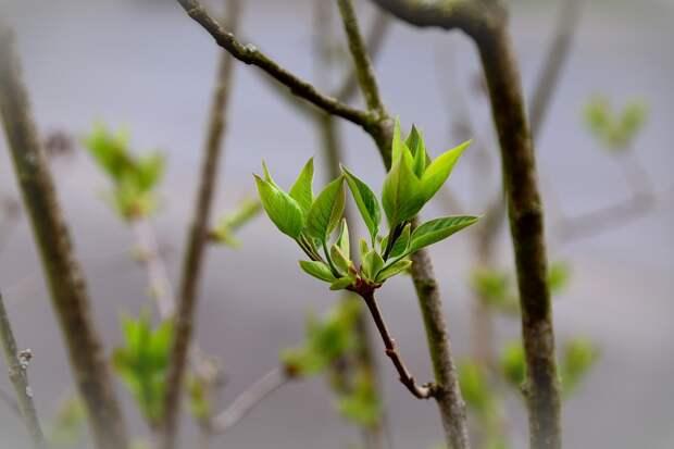 Листья, Зеленый, Сирень Дерево Бутоны, Сирень, Филиал