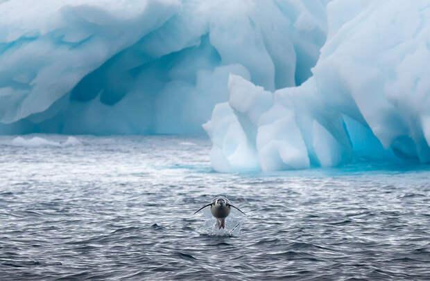 Пингвины не могут летать, но, глядя на фото, в это трудно поверить. В воде пингвины могут развивать скорость до 10 км/ч, а самый быстрый вид — папуанский — способен плавать со скоростью до 36 км/ч