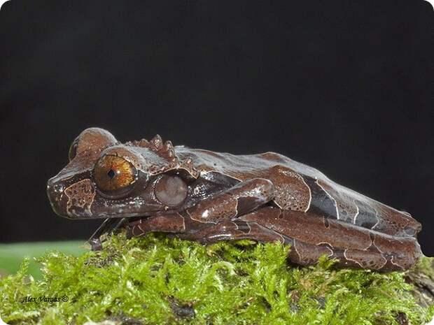 Квакша-привидение (лат. Anotheca spinosa)