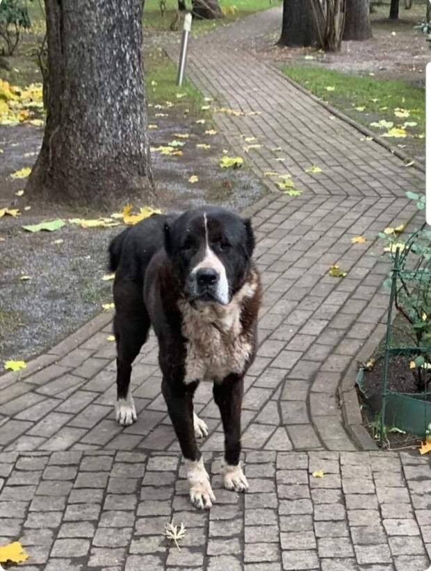 Собака-алабай с Дмитровки нашла временный дом