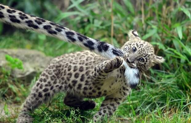 У ирбисов самый ням-нямный хвост в мире. Просто посмотрите, как они его кусают в мире, животные, ирбис, киска, кусь, милота, хвост